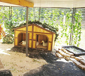 Duck care and feeding for How to build a duck shelter