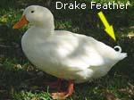 Pekin Male Drake Feather